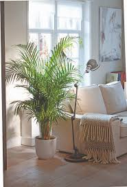 areca palm dypsis winter months palm and indoor