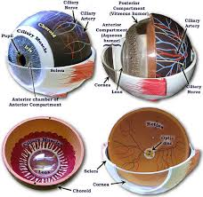 Anatomy Of Human Eye Ppt Best 25 Human Cell Diagram Ideas On Pinterest Cell Project
