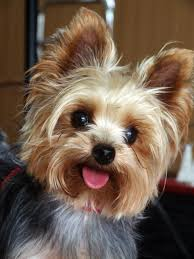 haircuts for yorkies how much does a yorkie and teacup yorkies cost yorkiepassion com