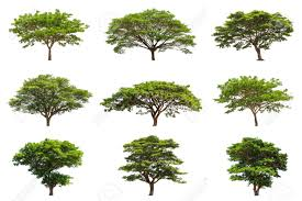 collection of trees samanea saman tropical tree in the