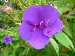 Flowers Information - princess flower plant facts u2013 how to grow a princess flower bush