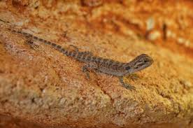 free images bearded dragon young animal pogona cold blooded