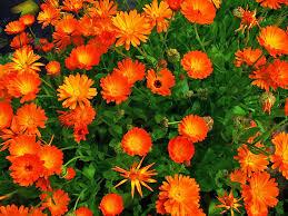 Calendula Flowers Calendula Muffins Home Naturally