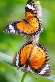 how to plant a butterfly garden little lake county