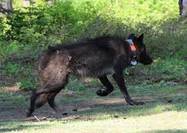 belgian sheepdog oregon get to know oregon u0027s wolves oregon wild