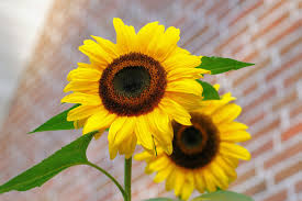 Photos Of Flowers Yellow Sunflower Macro Photographyt Free Stock Photo