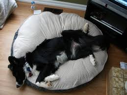 Kirkland Dog Bed Sleeping Dogs Funniest Positions Page 2 The People U0027s Border