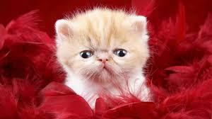 baby cat wallpaper high definition