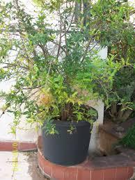 prakruti mother nature kitchen garden series 002 bilimbi
