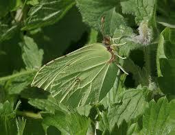 butterflies of europe gonepteryx rhamni