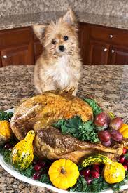 can dogs eat thanksgiving turkey caring vets healthy pets