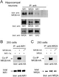 specific assembly with the nmda receptor 3b subunit controls