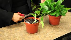 How To Decorate A Pot At Home Propagating Pothos Plants Gardening U0026 Plant Care Youtube