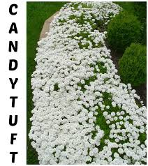 best 25 tree with white flowers ideas on pinterest variegated