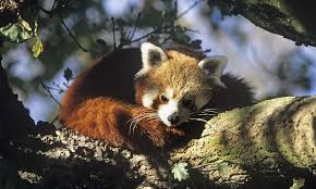 red panda species wwf
