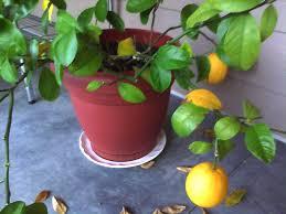 meyer lemon trees yellow leaves falling off