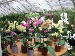 buy an orchid orchids to buy