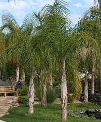 palm trees wholesale palm tree supplier md resort palms