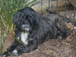 affenpinscher in texas shih tzu rescue adopt lhasa apso adoption