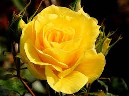 yellow roses with tips gardening tips for yellow plants boldsky