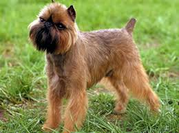 affenpinscher brussels griffon rescue brussels griffon history personality appearance health and pictures