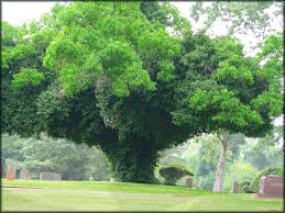 a vine covered tree at oak grove cemetery in historic nacogdoches