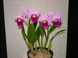 cattleya orchids what is your birth orchid october cattleya