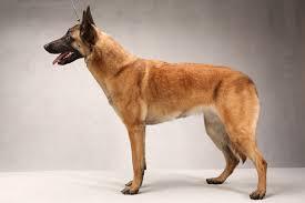 belgian shepherd vs pitbull fight roosh v forum the dog thread