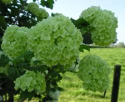 Lime Green Flowers - 150 best green flowers images on pinterest green flowers floral