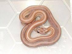 Blind Snake For Sale Albino Bull Snake For Sale Pituophis Catenifer Sayi Snakes