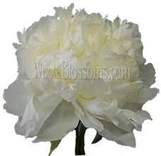 peonies wholesale order wholesale peony flowers on sale