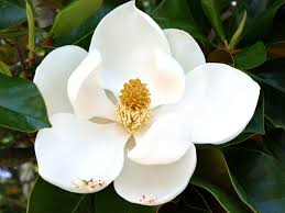 the meaning of the in which you saw magnolia