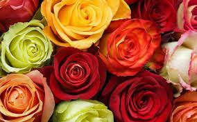 colored roses desktop wallpaper multi colored roses