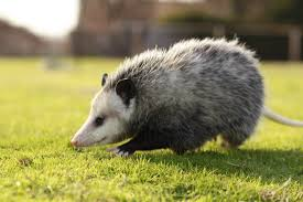 all about opossums wildlife rescue and rehabilitation