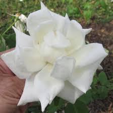 white mrs herbert stevens climbing rose plants