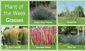 plant of the week august 9 2012 grasses bylands nurseries ltd