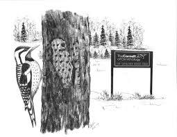 ask the bird folks sapsucker woods entertainment u0026 life
