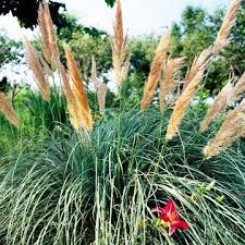 low maintenance ornamental grasses great for colorado landscapes