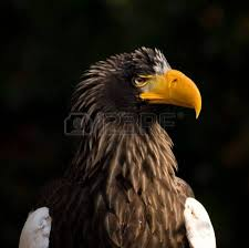 stellers sea eagle wallpapers s sea eagle images u0026 stock pictures royalty free s sea eagle