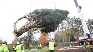 rockefeller center christmas tree leaves its roots in state