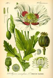 Names And Images Of Flowers - papaver somniferum wikipedia