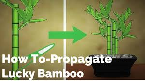 how to propagate lucky bamboo youtube