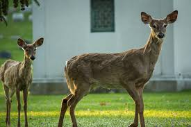 forest lawn yearling and white tailed deer