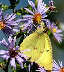 dagger moth caterpillar hshire garden solutions