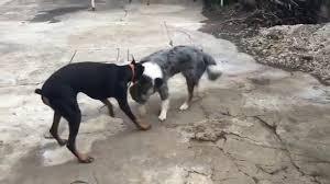 belgian shepherd or border collie border collie vs doberman youtube