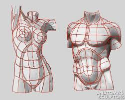 Anatomy Of Human Body Sketches Structure Of Human Anatomy Proportions Poses Elements Of The