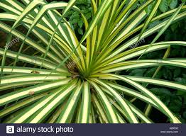 variegated pandanus ornamental foliage plant dsc7568 stock photo