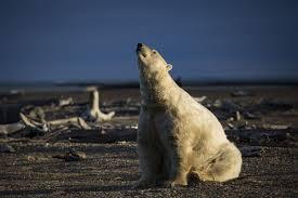 the perils of eating polar bear alaska dispatch news