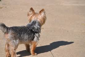 haircuts for yorkies 50 damn cute yorkie haircuts for your puppy hairstylec
