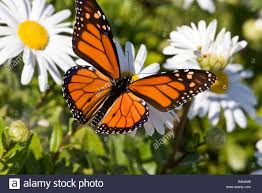monarch butterfly on a stock photo 20146512 alamy
